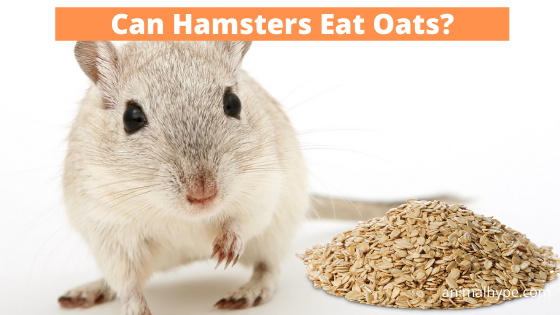 Can Hamsters Eat Oats
