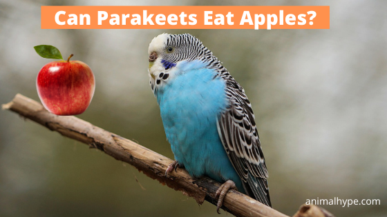 Can Parakeets Eat Apples
