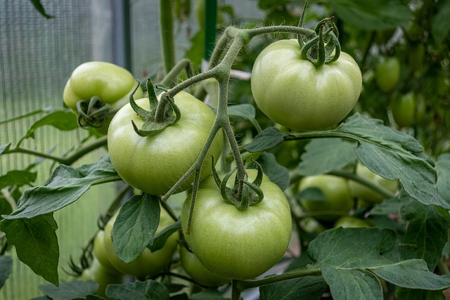 Can chickens eat unripe tomatoes