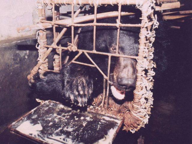 Cruel Bear Bile Farming