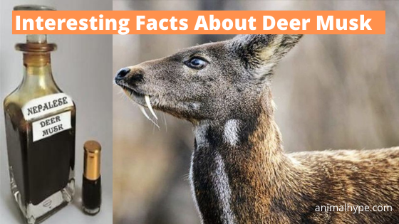 Deer Musk Facts