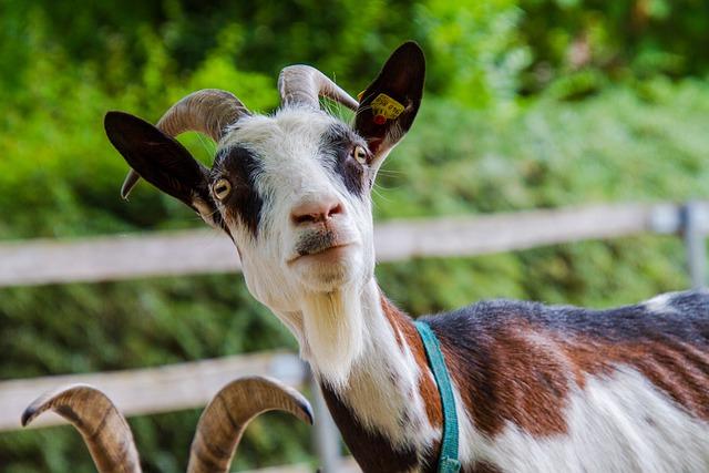 Do goats eat dog food