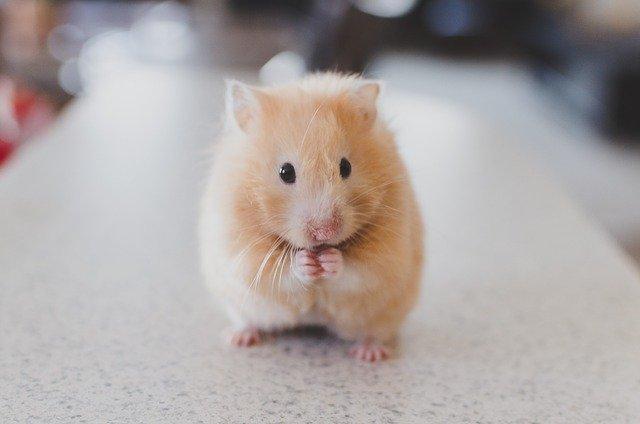 Do hamsters like eating oats