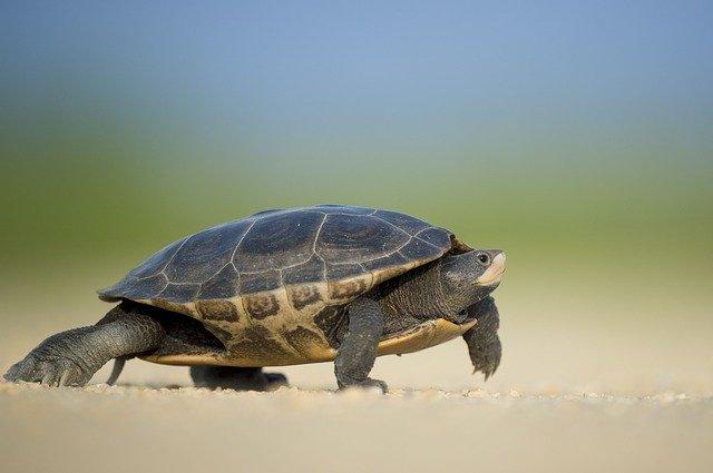 Do turtles like eating carrots