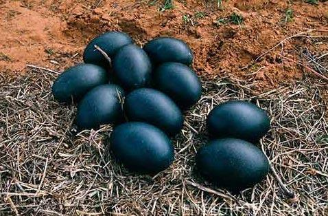 Emu lays black eggs