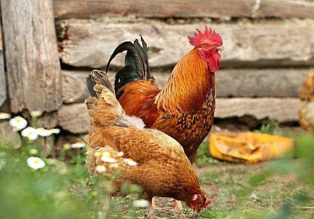 Feeding nectarines to chickens