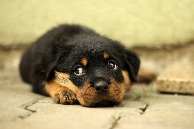 Good Rottweiler Names