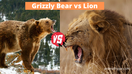 Grizzly Bear vs African Lion