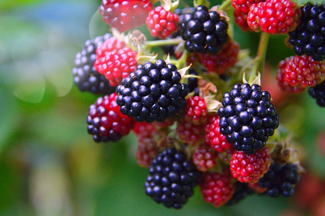 Health benefits of blackberries to chickens