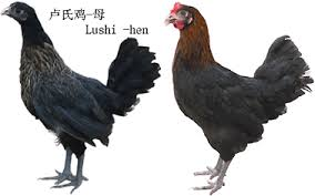 Lushi and the Dongxiang chickens