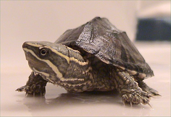 Musk Turtle Facts