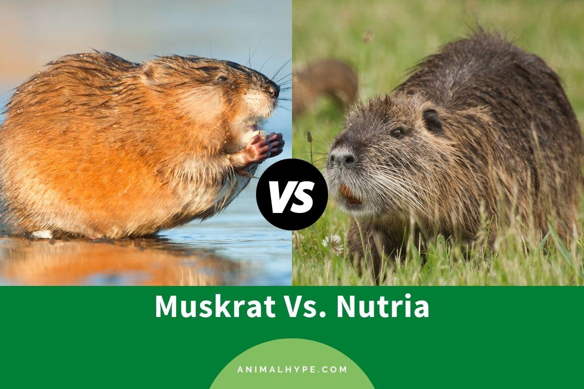 Muskrat vs Nutria