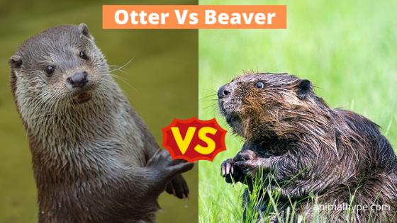 Otter Vs Beaver