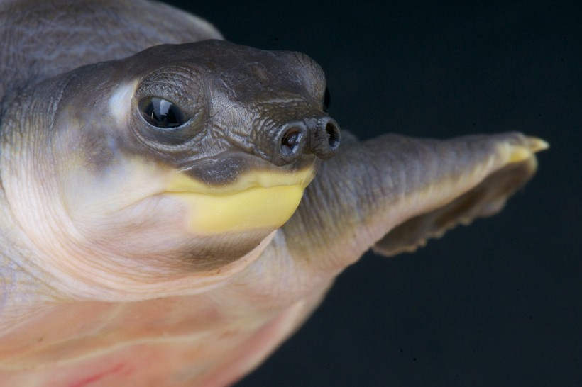 Pig-Nosed Turtle Facts