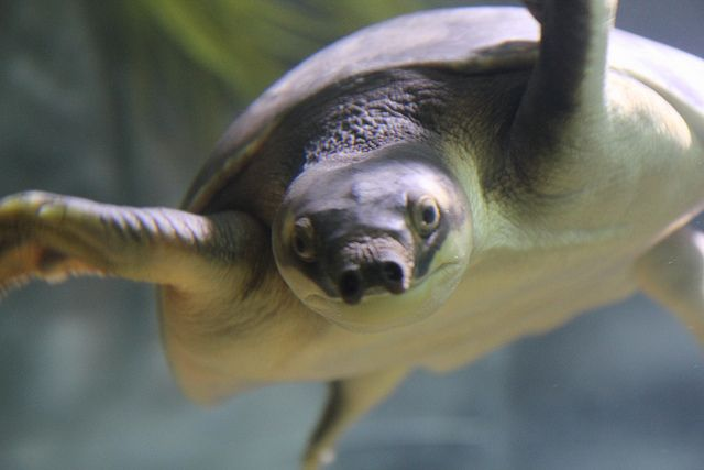 Pig-Nosed Turtle Picture