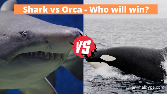 Shark vs Killer Whale