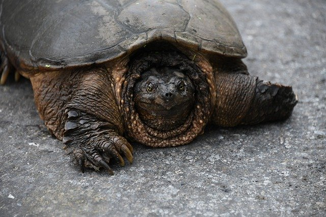 Snapping turtle lifespan in captivity