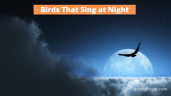 Birds That Chirp at Night