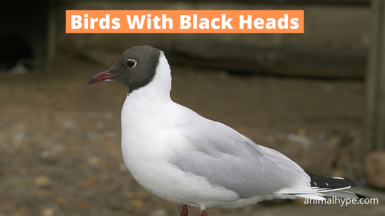 Birds With Black Heads