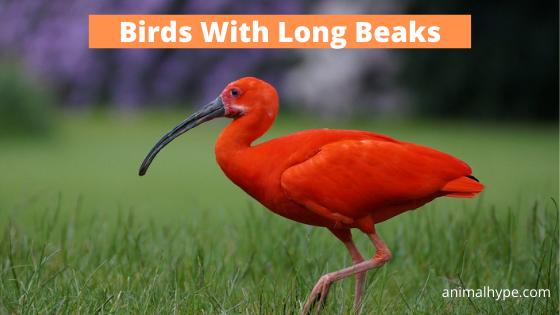 Birds With Long Beaks