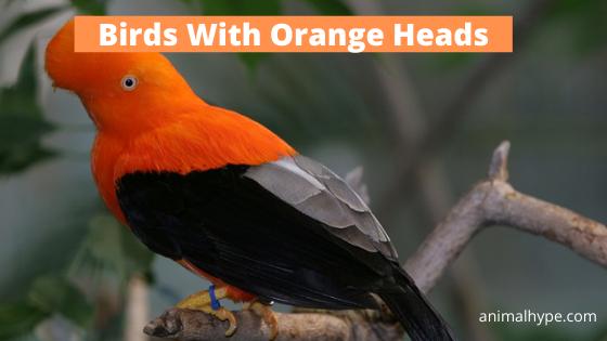 Birds With Orange Head