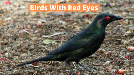 Birds With Red Eyes