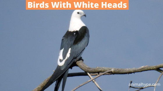 Birds With White Heads