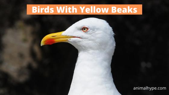 Birds With Yellow Beaks