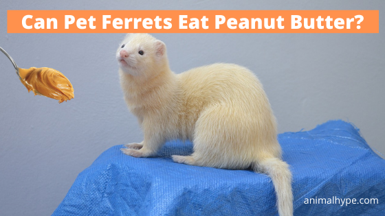 Can Pet Ferrets Eat Peanut Butter