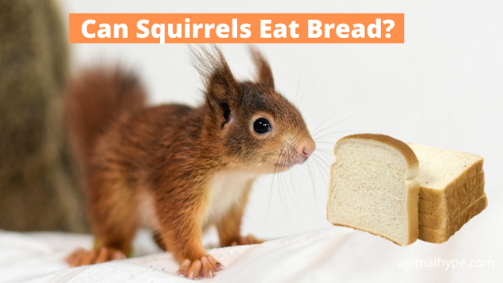 Can Squirrels Eat Bread