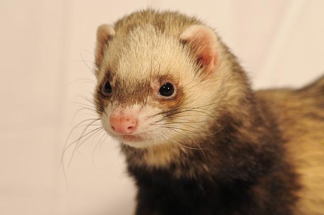 Do ferrets eat peanut butter