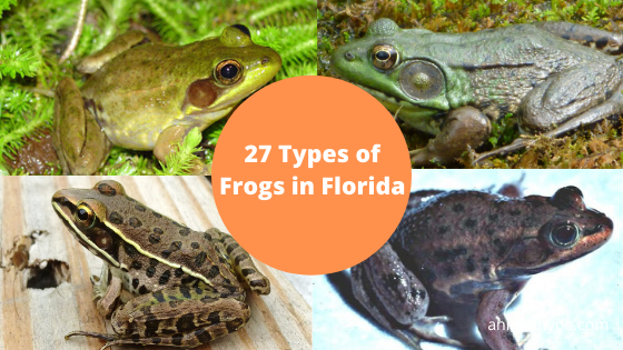 Frogs in Florida