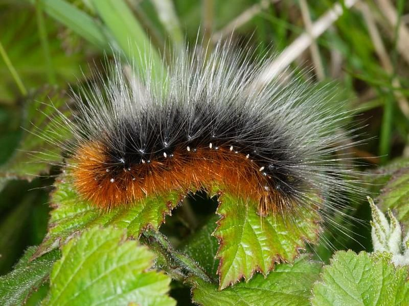 Great Tiger Moth Caterpillar
