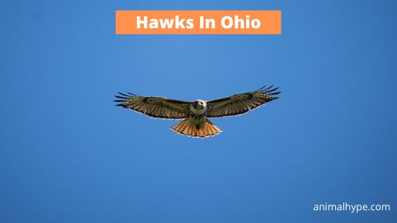 Hawks In Ohio