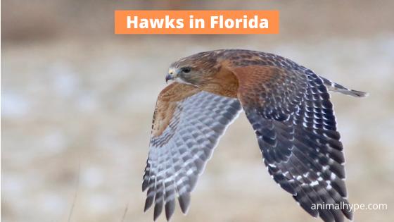 Hawks in Florida