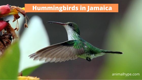 Hummingbirds in Jamaica