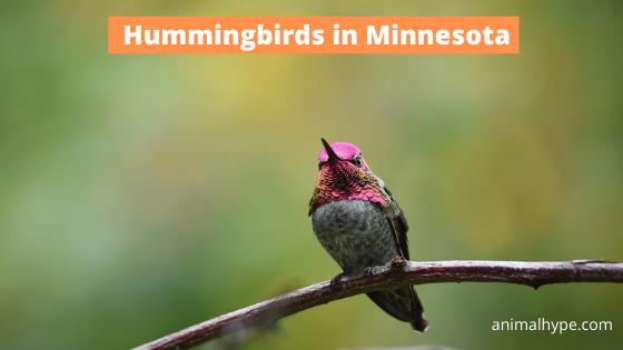 Hummingbirds in Minnesota