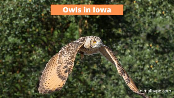 Owls in Iowa