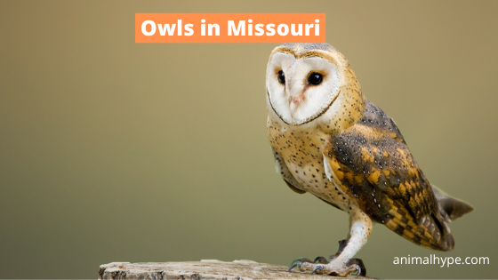 Owls in Missouri