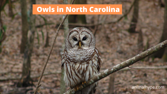 Owls in North Carolina