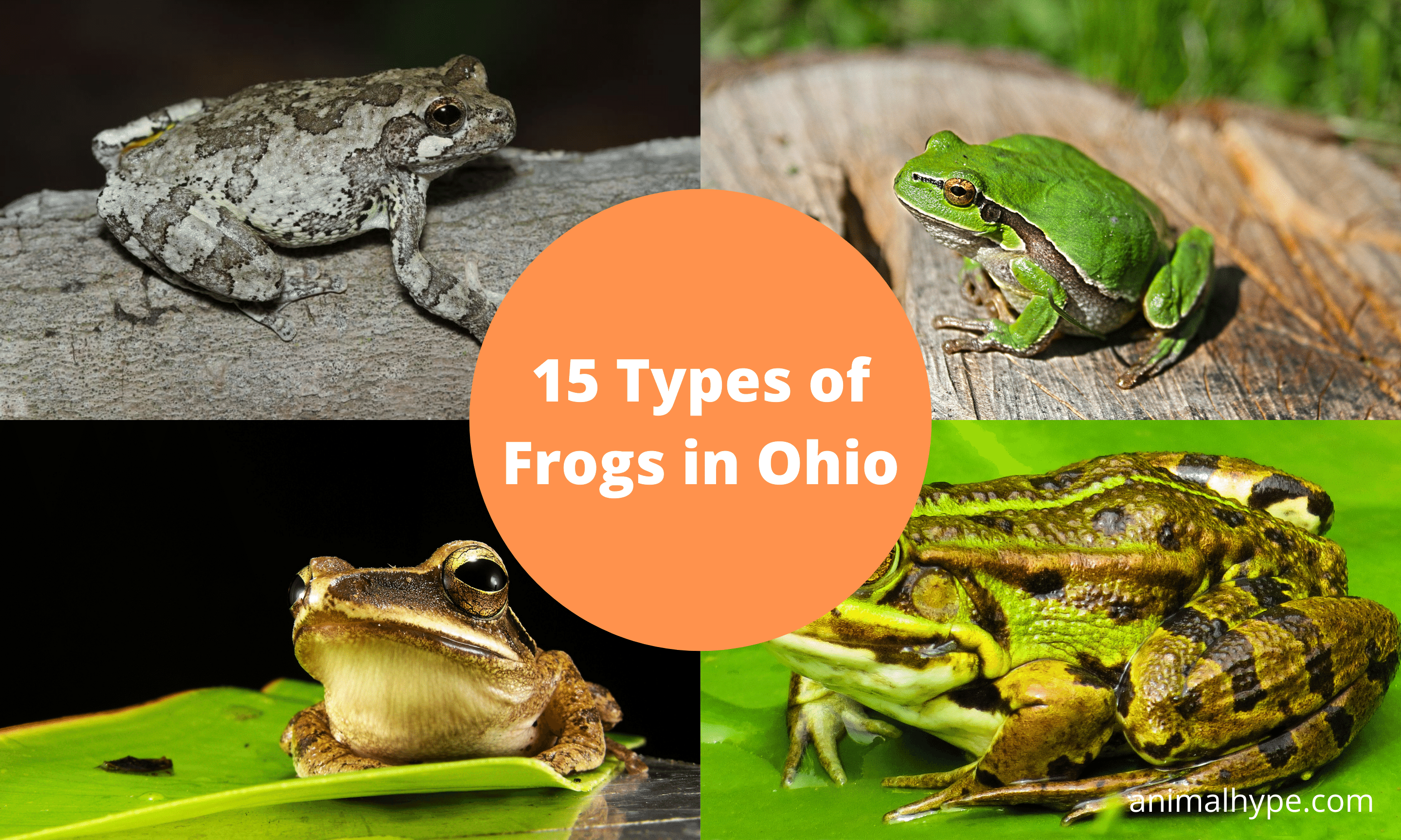 Types of Frogs in Ohio