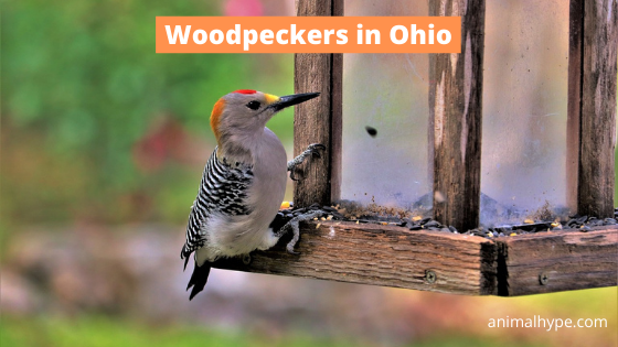 Woodpeckers in Ohio