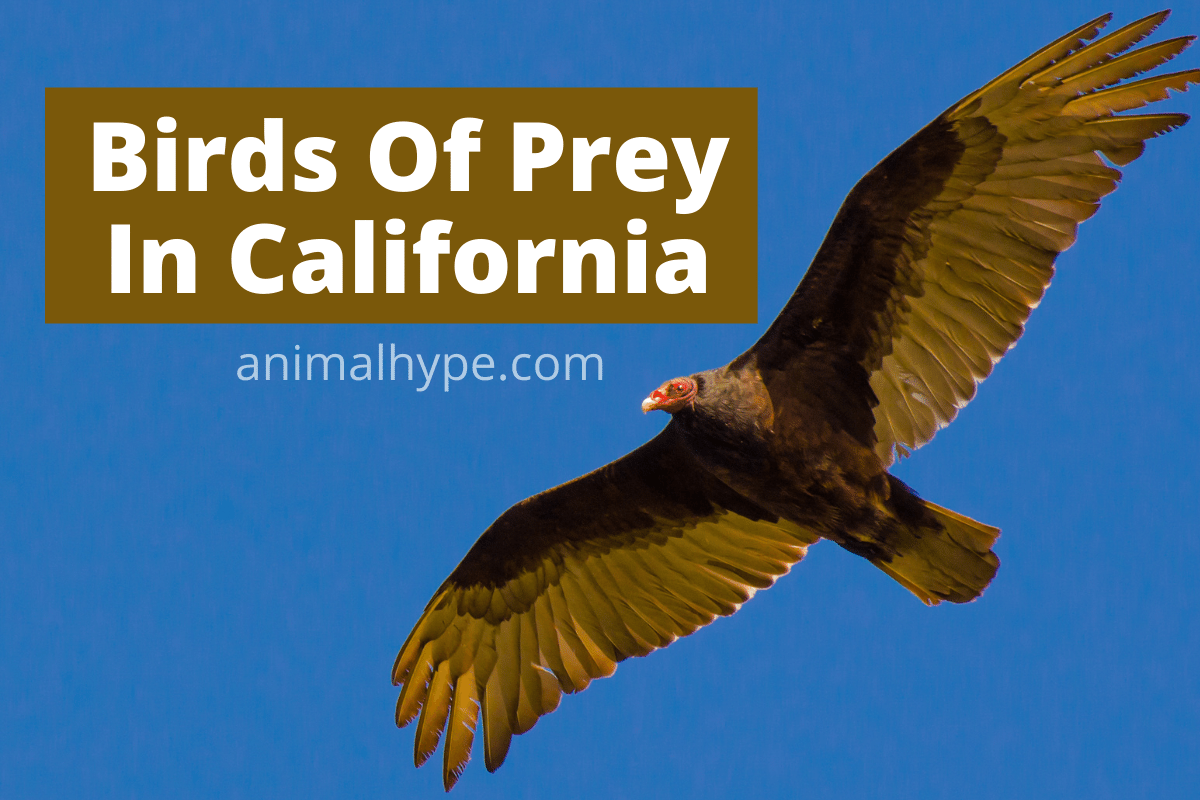 birds of prey in california