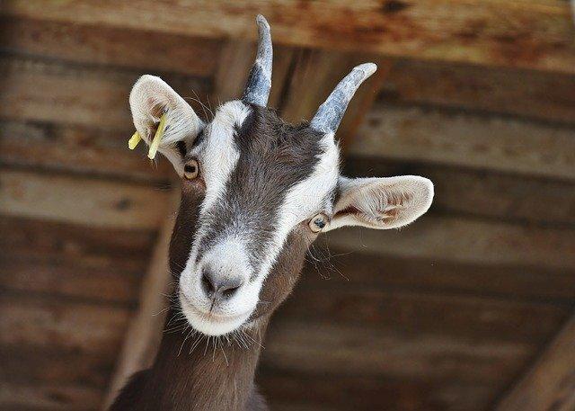 goat eyes