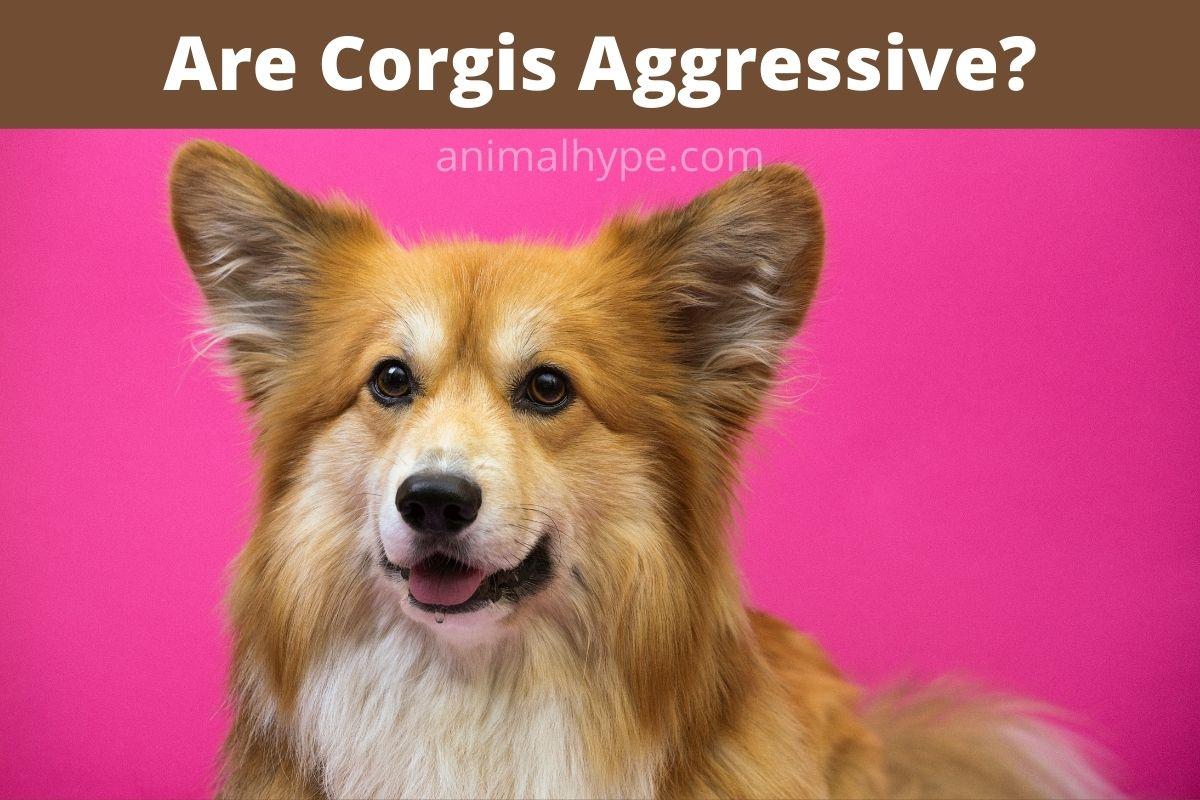 Are Corgis Aggressive