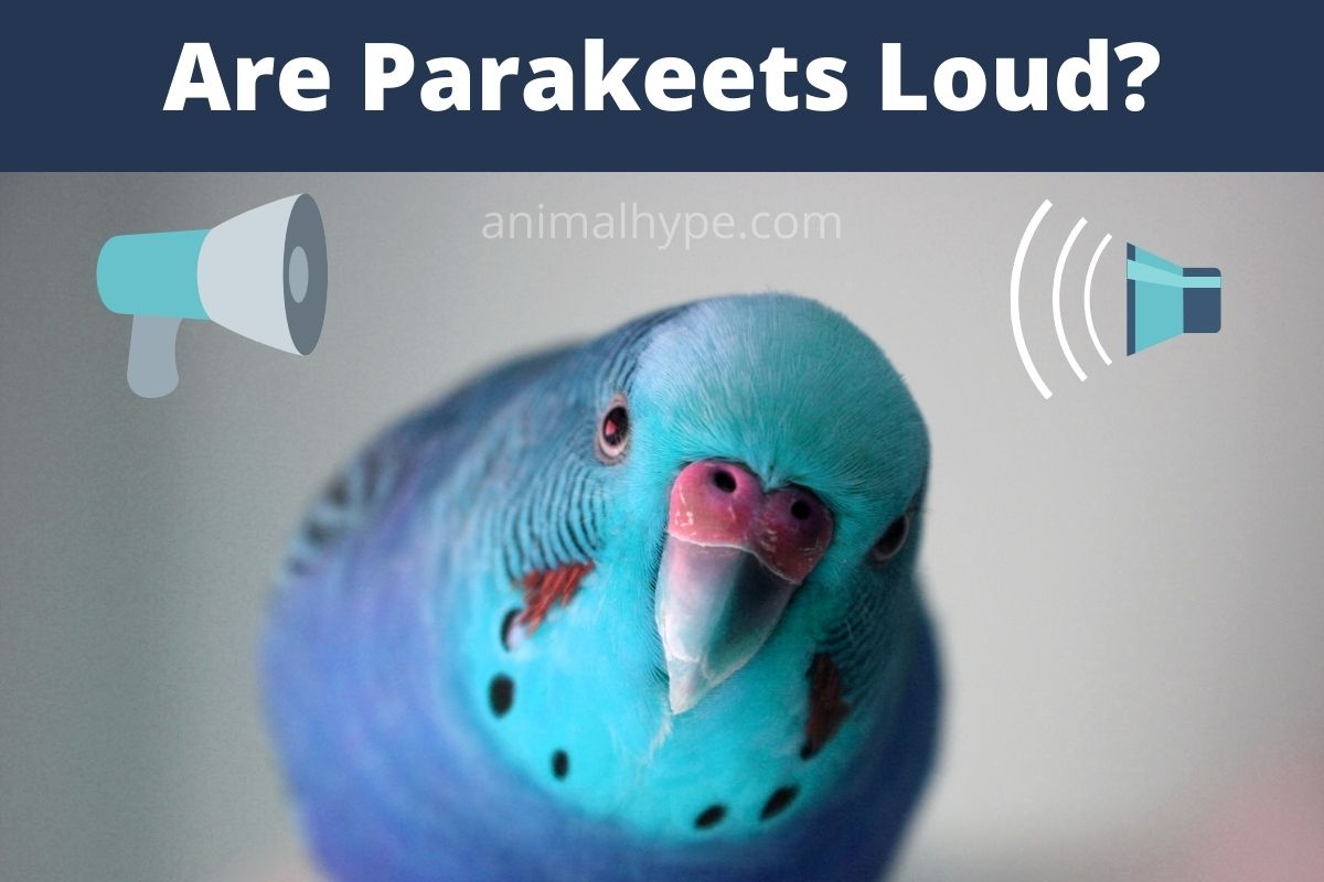 Are Parakeets Loud