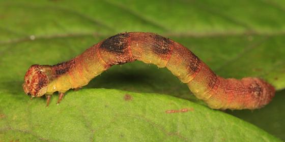 Bent-line Gray Moth Caterpillar