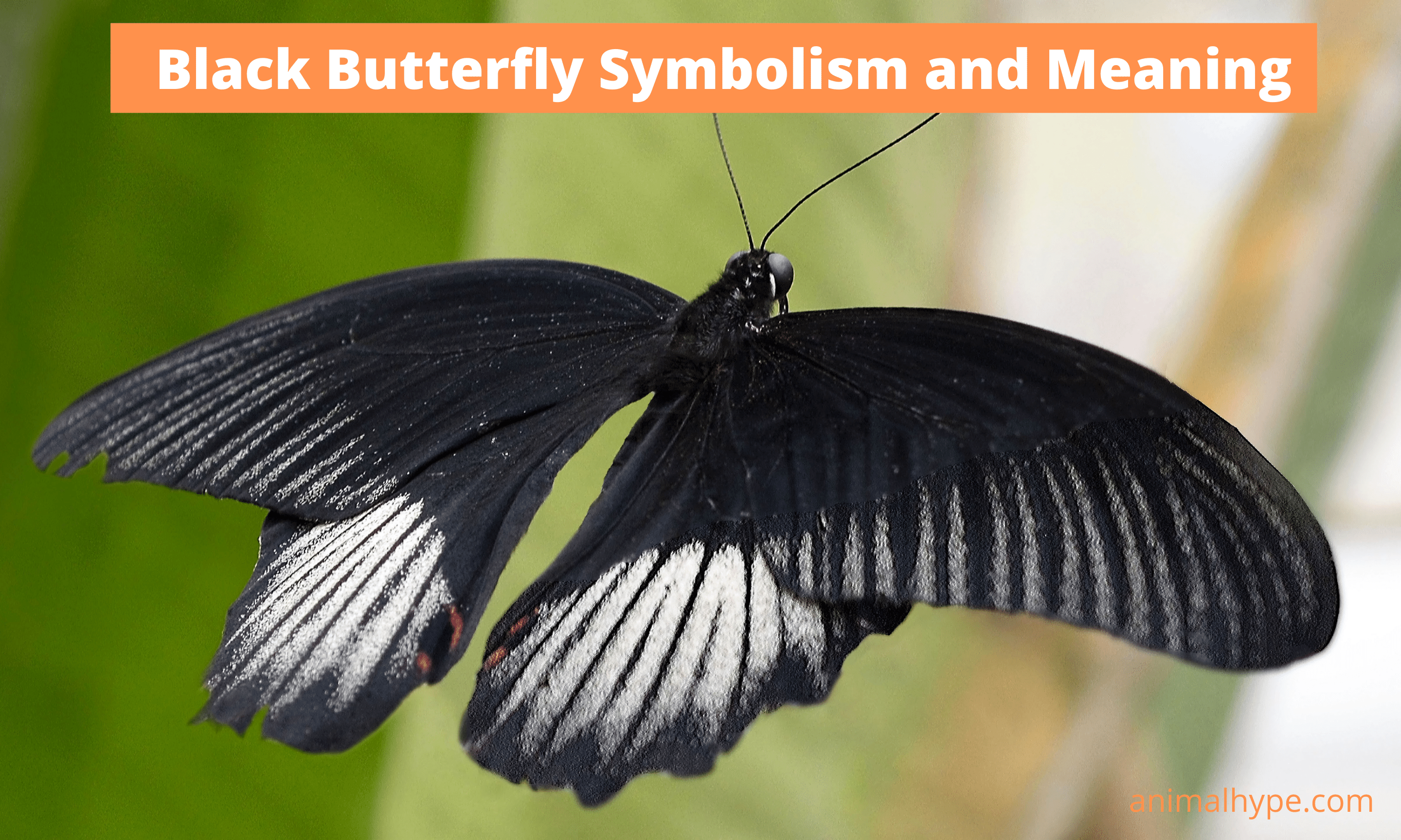 Black Butterfly Symbolism and Meaning