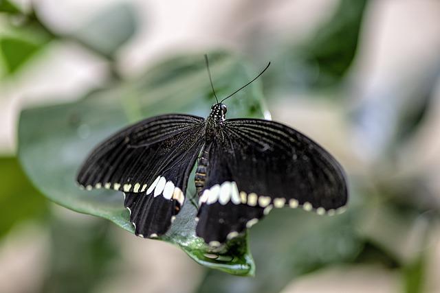 Black Butterfly symbolism