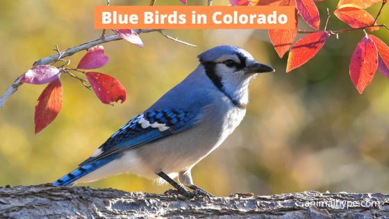 Blue Birds in Colorado